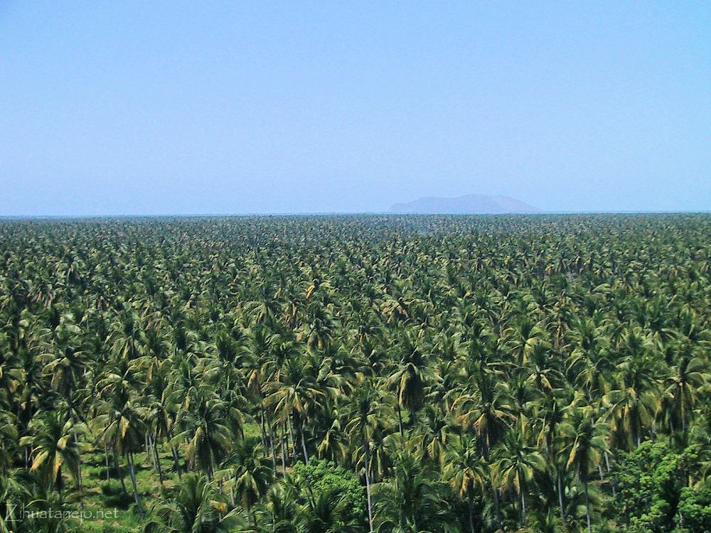 Coconut groves